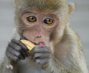 Eat Thanksgiving dinner with monkeys in Lopburi, Thailand